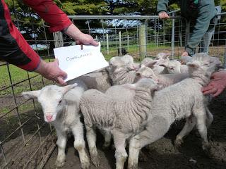Lamb Weighing Day Wando Estate