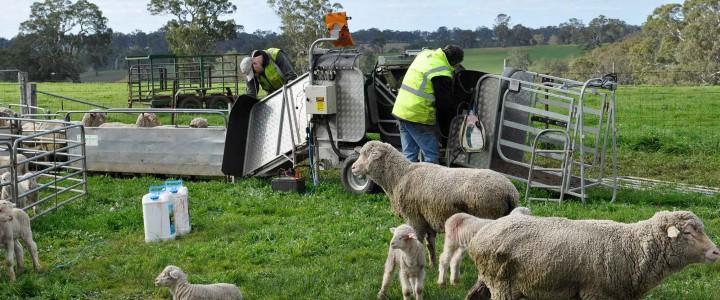 2014 drop progeny lamb marking at Tuloona